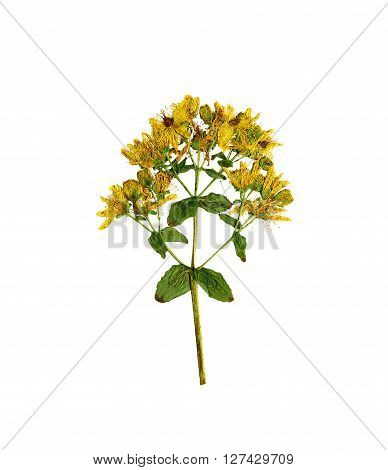 Pressed and dried flower hypericum perforatum. Isolated on white background.