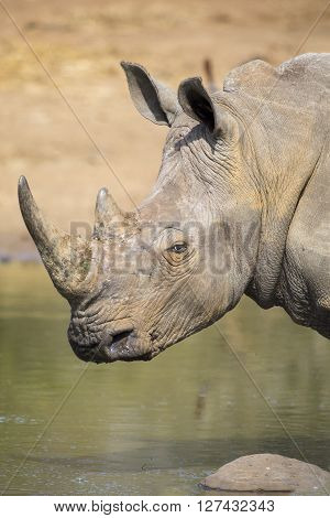 Lone white rhino bull standing at the edge of a lake to drink