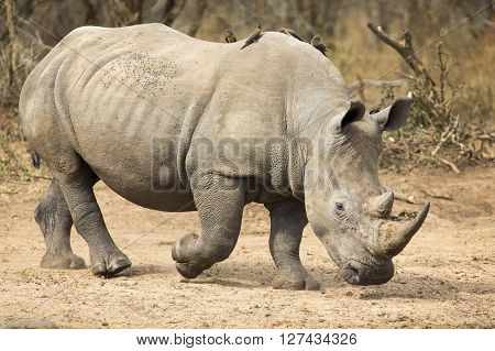 Lone rhino walking on a open area looking for safety from poachers