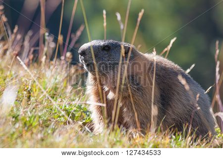 Big fat marmot, Dolomites mountains in Italy
