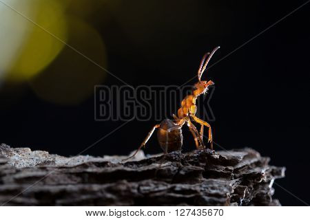 Formica rufa on a branch. Background black. Ant bright lights