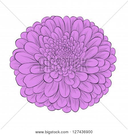 beautiful flower chrysanthemum isolated on white background . Hand-drawn contour lines and strokes. Perfect for background greeting cards and invitations to the day of the wedding birthday and Valentine's Day
