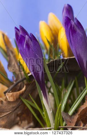 blue and yellow crocus bblossoming in early spring