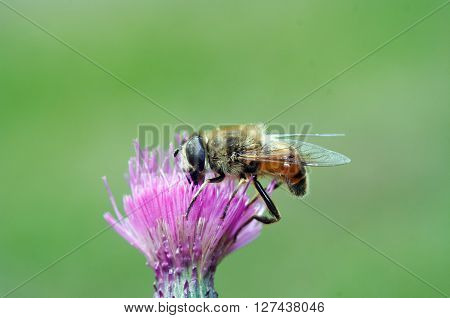 Pollination - Syrphyd fly on the bloom