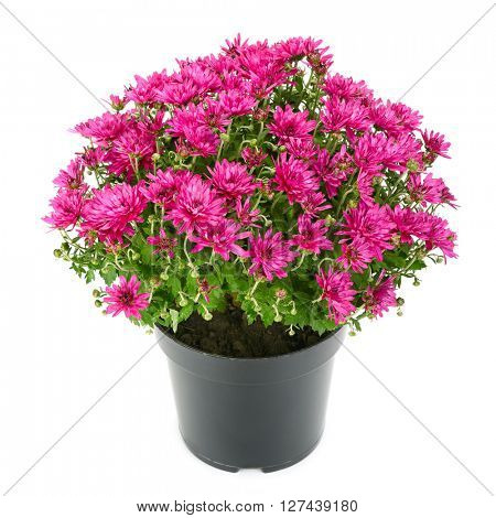 blooming chrysanthemum in flowerpot isolated on white