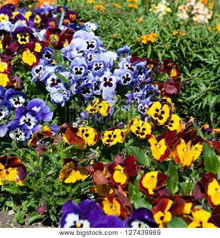 Beautiful collections of Viola flowers in the garden