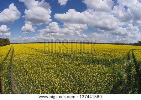 Blooming rapeseed field in spring in Fisheye Perspective