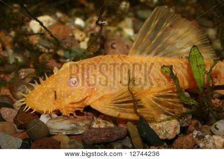 Catfish (Ancistrus spec.)