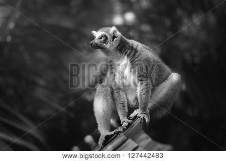 Ring-tailed lemur sun-loving primates sitting among trees.