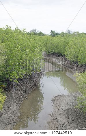 Mangrove forest in Southern of Thailand Thai gulf.