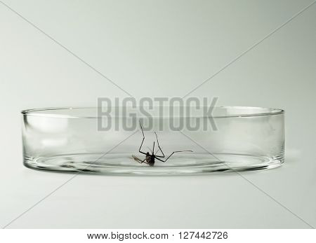 Mosquito, a carrier of diseases and virus such as the Zika virus. Mosquito sample or subject on a petri dish dish isolated on natural white background.