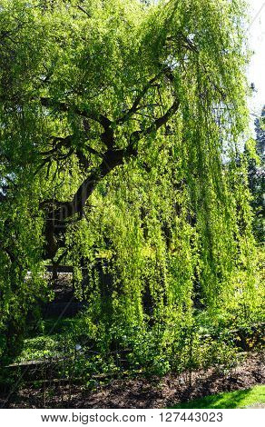 Beautiful backlit view of Weeping willow tree on a sunny day in spring time