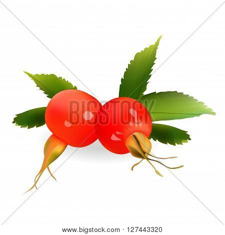 Rosehip Vector Illustration. Realistic icon Isolated On White Background
