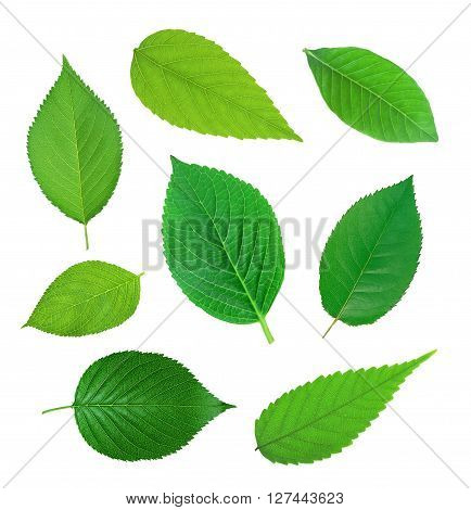 set of green spring leaves isolated on white background