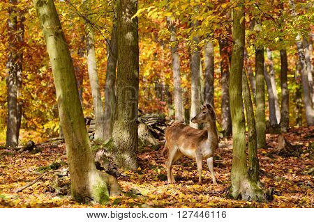 Beautiful Color Background Of Autumn Nature In The Woods With Wild Deer. Fallow Deer, (dama Dama)