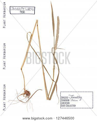 Herbarium of pressed parts of cereals timothy. Leaves stems roots and timothy spike isolated on white