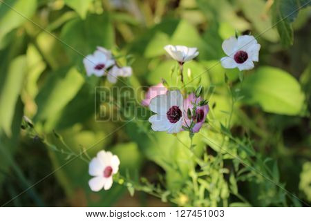 Decorative white flax flowers in the garden. Small white flowers on green background. White flax flowers with purple core growing in sunshine.