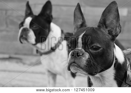 Two boston terriers looking forward in black and white. Heads of boston terrier dogs. Smart looking dogs. Black and white dogs.