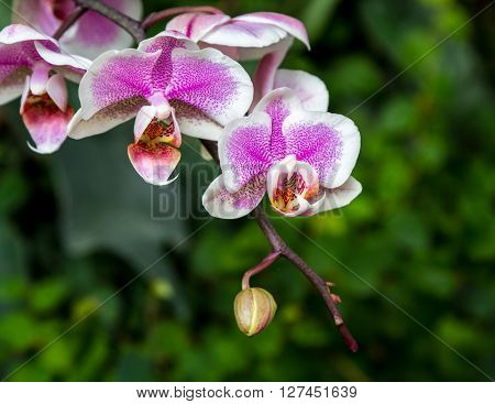 Blooming Orchid close-up in Utopia Orchid Park Israel