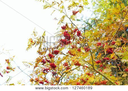 Rowan ashberry fall autumn tree outdoors back