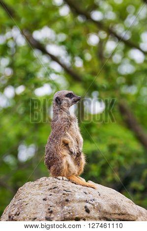 Lovely meerkats mongoose observing for birds nature