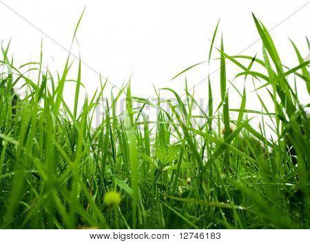 green summer grass after rain
