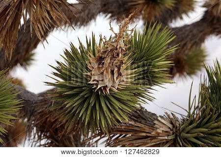 Dried Joshua Trees flowers and leaves .