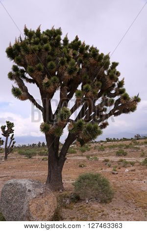 Joshua Trees in the Joshua Tree National Park a California Desert landscape designated as a national park for all to enjoy.