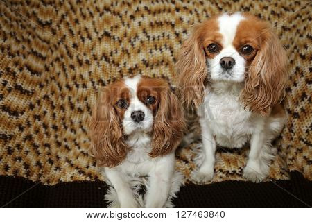 Beautiful Pure Breed cavalier King Charles Cavalier Spaniel dogs.