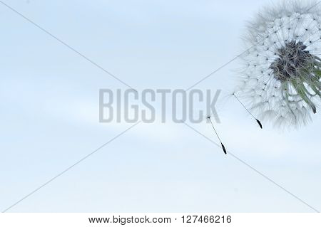 the blowball of a dandelion and its seeds