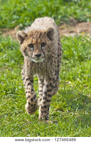 A shot of a cheetah cub (young cheetah)