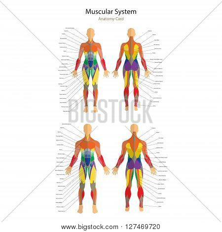 Detailed illustration of human muscles. Female and male body. Exercise and muscle guide. Gym training. Muscle man anatomy. Front and rear view.