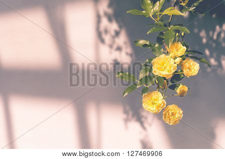 Lady Banks' Roses (rosa Banksiae Lutea) Over Uniform Background With Shadows