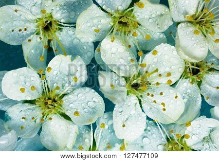 spring white flowers background with waterdrops. macro