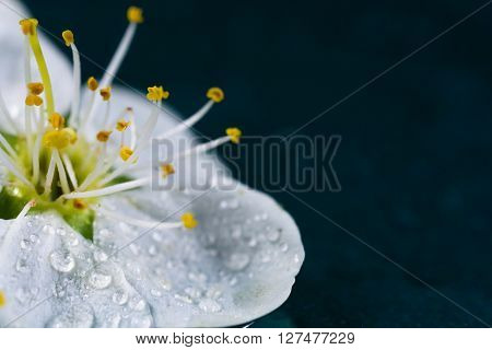 white flower macro on turquoise background with waterdrops and yellow stamen
