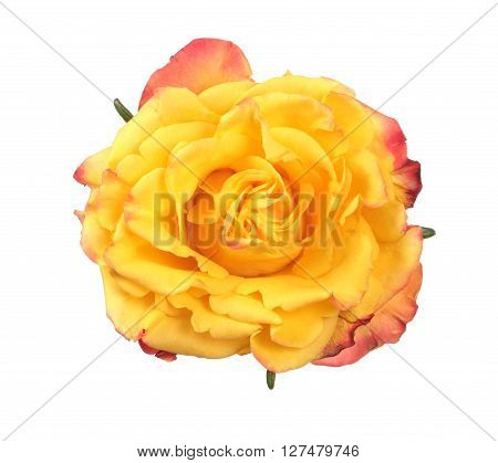 Closeup view of yellow rose isolated on white background