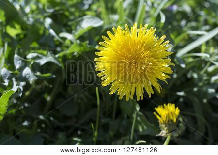 A closer look at a dandelion in a green bed