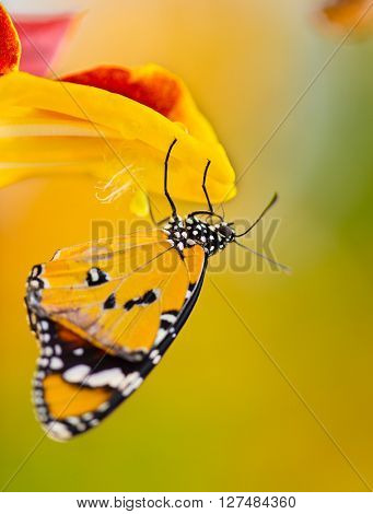 Beautiful Plain Tiger butterfly (Danaus chrysippus) perching on thumbergia mysorensis flower. Close-up.