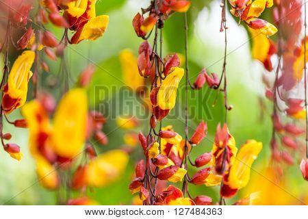 Beautiful Thunbergia mysorensis exotic flower, close-up.