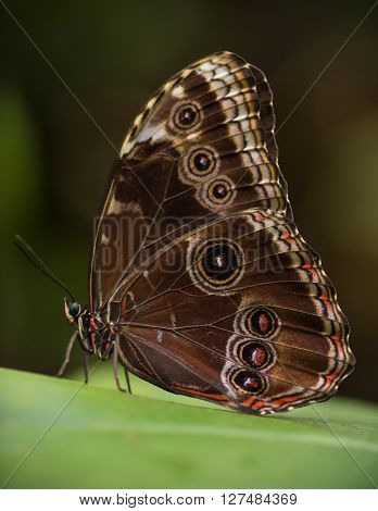 Magnificent owl (caligo eurilochus sulanus) butterfly on green nature background, close-up.
