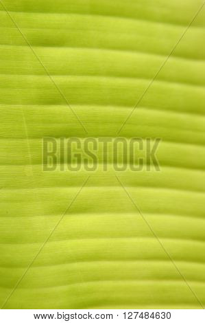 Light From Behind Banana Leaf For Background.