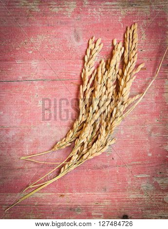 Spikelets of rice on pink wooden background