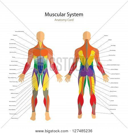 Detailed illustration of human muscles. Male fitness model. Exercise and muscle guide. Gym training. Muscle man anatomy. Front and rear view.