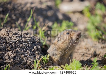 Botta's Pocket Gopher - Thomomys bottae, peeking out from its burrow