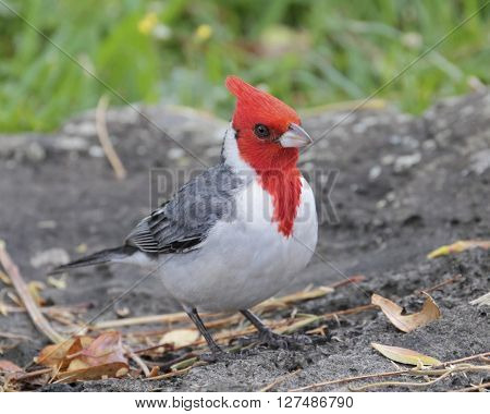 The Brazilian Cardinal (Paroaria Coronata) is a Threatened species in Brazil,  yet flourishes in Hawai'i.