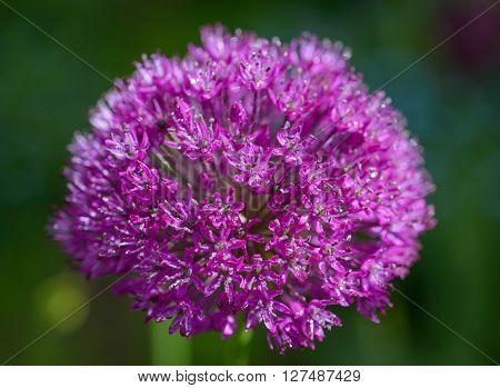 Purple alium onion flower close up shot.