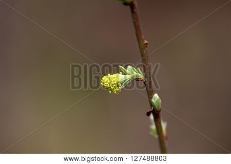 Male buds of a goat or great willow Salix caprea.