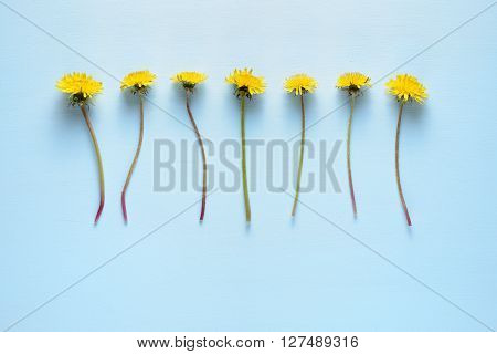 Dandelion flowers on blue background top view