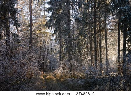 Sun lit clearing in a rime covered spruce forest