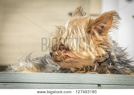 Portrait yorkshire terrier or yorkie squints from the bright sunlight